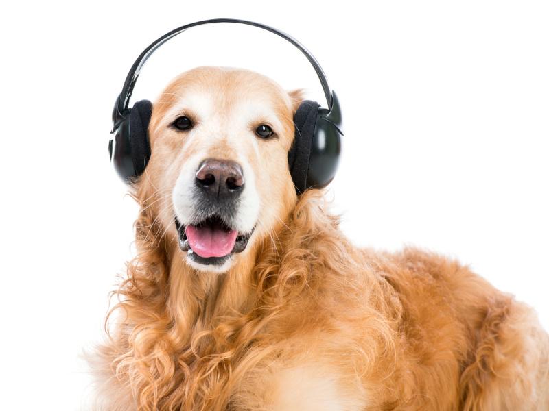 Ein Hund trägt einen Kopfhörer, was auf die Geräusche einer Computermouse auf dem Tisch hinweisen sol.